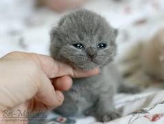 Bri-Misie*PL British Shorthair Cattery - Litters